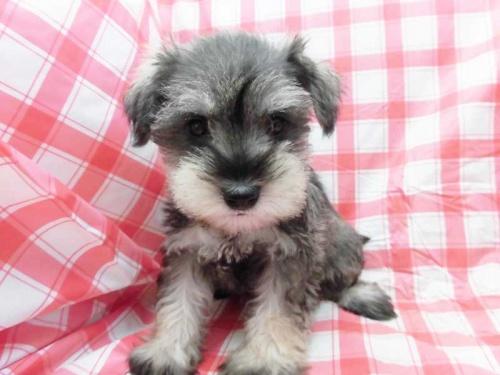 ミニチュアシュナウザーの子犬(ID:1238511125)の1枚目の写真/更新日:2018-09-13
