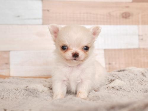 チワワ(ロング)の子犬(ID:1238511137)の1枚目の写真/更新日:2019-05-09
