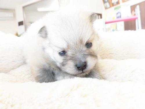ポメラニアンの子犬(ID:1238511176)の1枚目の写真/更新日:2019-01-29