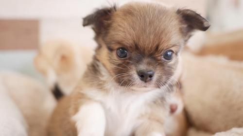 チワワ(ロング)の子犬(ID:1238511182)の1枚目の写真/更新日:2019-09-30