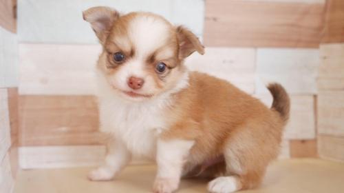 チワワ(ロング)の子犬(ID:1238511183)の1枚目の写真/更新日:2019-09-30