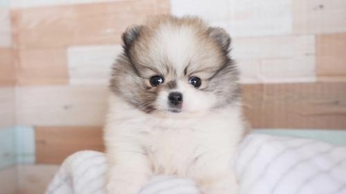 ポメラニアンの子犬(ID:1238511194)の1枚目の写真/更新日:2018-06-18