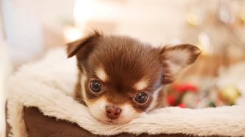 チワワ(ロング)の子犬(ID:1238511196)の1枚目の写真/更新日:2019-11-18