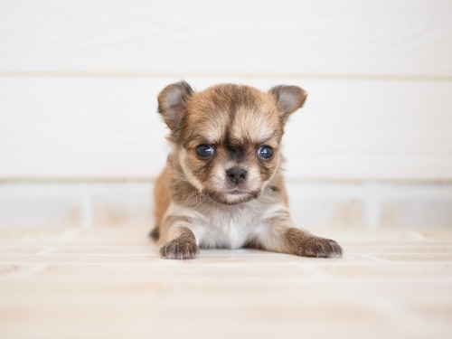 チワワ(ロング)の子犬(ID:1238511197)の3枚目の写真/更新日:2021-08-26