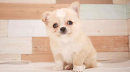 チワワ(ロング)の子犬(ID:1238511201)の1枚目の写真/更新日:2019-10-16
