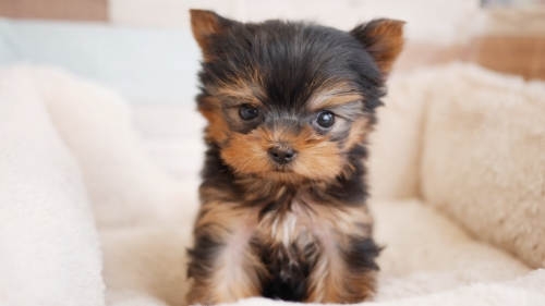 ヨークシャーテリアの子犬(ID:1238511203)の1枚目の写真/更新日:2020-03-01