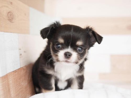 チワワ(ロング)の子犬(ID:1238511206)の1枚目の写真/更新日:2020-10-25