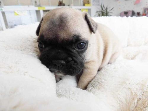 フレンチブルドッグの子犬(ID:1238511225)の1枚目の写真/更新日:2018-07-30
