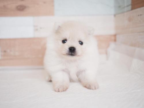 ポメラニアンの子犬(ID:1238511237)の1枚目の写真/更新日:2020-11-09