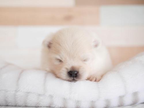 ポメラニアンの子犬(ID:1238511237)の2枚目の写真/更新日:2020-11-09