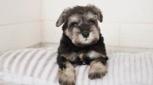 ミニチュアシュナウザーの子犬(ID:1238511242)の1枚目の写真/更新日:2021-08-03