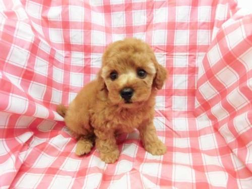 トイプードルの子犬(ID:1238511243)の1枚目の写真/更新日:2018-07-30
