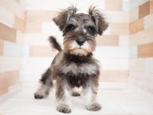ミニチュアシュナウザーの子犬(ID:1238511260)の1枚目の写真/更新日:2020-10-25