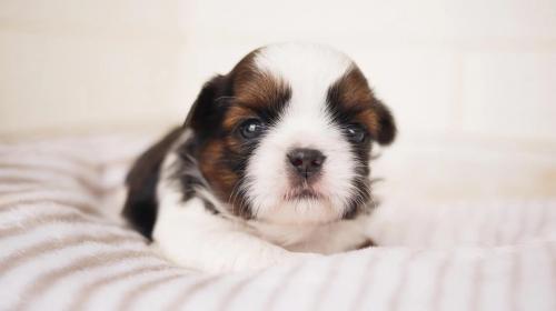 シーズーの子犬(ID:1238511261)の1枚目の写真/更新日:2021-06-14