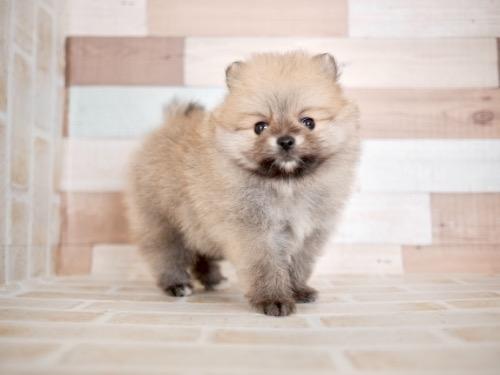 ポメラニアンの子犬(ID:1238511283)の1枚目の写真/更新日:2020-11-09