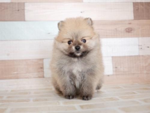 ポメラニアンの子犬(ID:1238511283)の2枚目の写真/更新日:2020-11-09