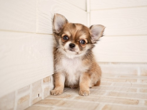 チワワ(ロング)の子犬(ID:1238511284)の1枚目の写真/更新日:2020-02-17