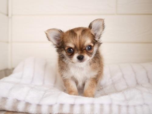 チワワ(ロング)の子犬(ID:1238511284)の2枚目の写真/更新日:2021-09-26