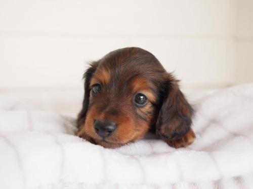 ミニチュアダックスフンド(ロング)の子犬(ID:1238511298)の1枚目の写真/更新日:2021-04-28