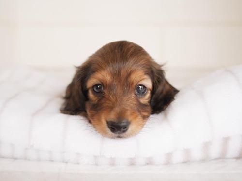 ミニチュアダックスフンド(ロング)の子犬(ID:1238511308)の1枚目の写真/更新日:2021-04-28