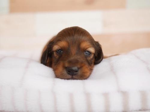 ミニチュアダックスフンド(ロング)の子犬(ID:1238511308)の2枚目の写真/更新日:2021-04-28