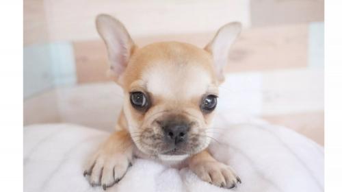 フレンチブルドッグの子犬(ID:1238511311)の1枚目の写真/更新日:2020-10-17