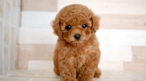 トイプードルの子犬(ID:1238511318)の1枚目の写真/更新日:2021-10-25
