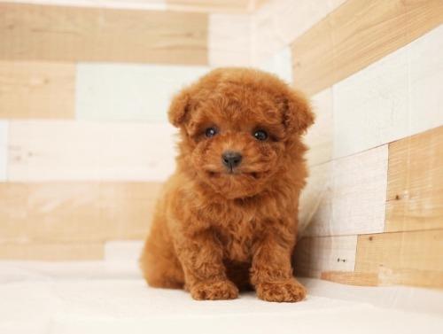トイプードルの子犬(ID:1238511320)の1枚目の写真/更新日:2020-04-20