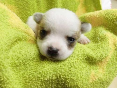 チワワ(ロング)の子犬(ID:1238511323)の1枚目の写真/更新日:2017-01-05