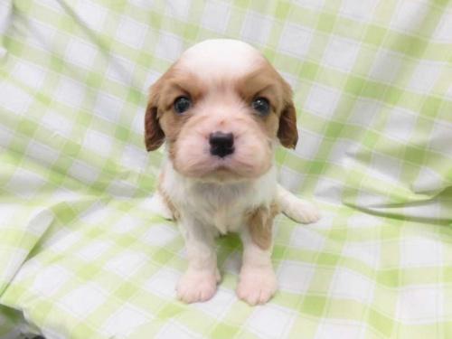 キャバリアの子犬(ID:1238511325)の1枚目の写真/更新日:2017-01-11