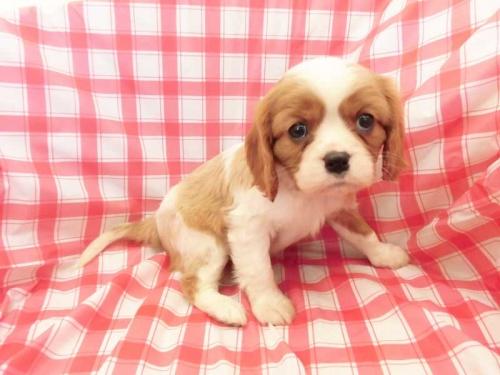 キャバリアの子犬(ID:1238511326)の1枚目の写真/更新日:2017-01-26