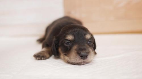 ミニチュアダックスフンド(ロング)の子犬(ID:1238511332)の1枚目の写真/更新日:2020-05-26