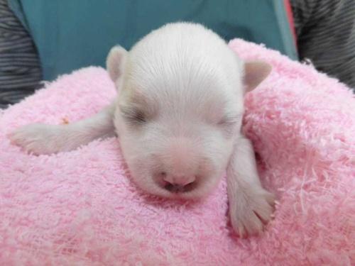 マルチーズの子犬(ID:1238511334)の1枚目の写真/更新日:2017-02-06