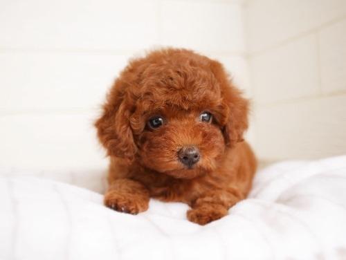 トイプードルの子犬(ID:1238511335)の1枚目の写真/更新日:2020-08-21