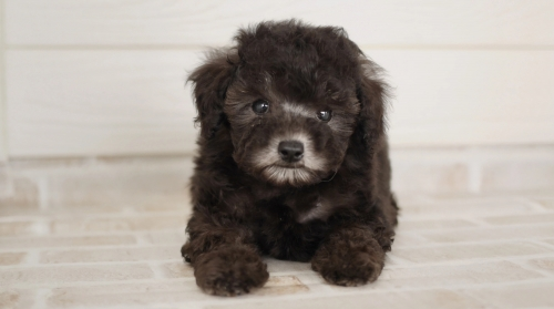 トイプードルの子犬(ID:1238511341)の1枚目の写真/更新日:2020-10-23