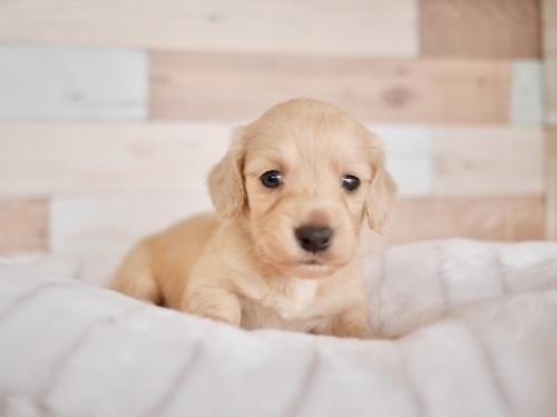 ミニチュアダックスフンド(ロング)の子犬(ID:1238511346)の1枚目の写真/更新日:2017-03-31