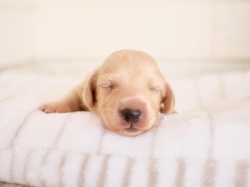 ミニチュアダックスフンド(ロング)の子犬(ID:1238511346)の2枚目の写真/更新日:2021-10-12