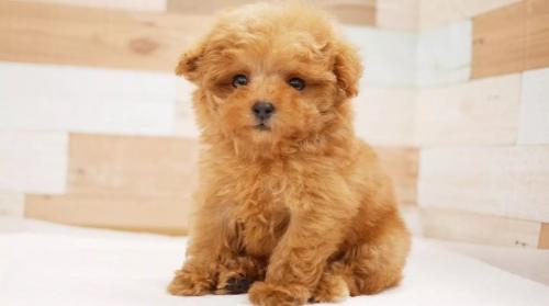 トイプードルの子犬(ID:1238511348)の1枚目の写真/更新日:2017-03-31