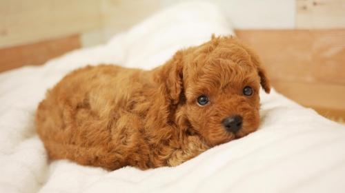 トイプードルの子犬(ID:1238511349)の1枚目の写真/更新日:2017-04-12