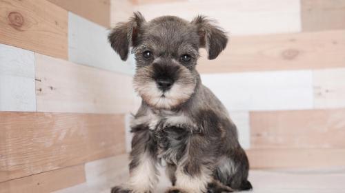 ミニチュアシュナウザーの子犬(ID:1238511350)の1枚目の写真/更新日:2020-05-26