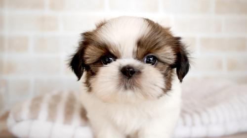 シーズーの子犬(ID:1238511353)の1枚目の写真/更新日:2017-04-20