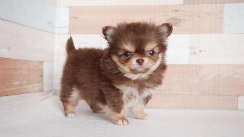チワワ(ロング)の子犬(ID:1238511355)の1枚目の写真/更新日:2017-05-01