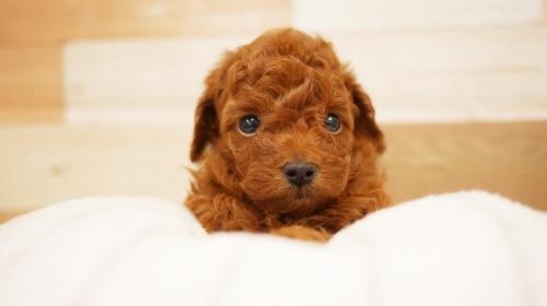 トイプードルの子犬(ID:1238511356)の1枚目の写真/更新日:2020-10-07