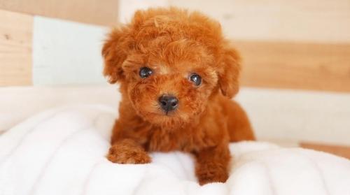 トイプードルの子犬(ID:1238511357)の1枚目の写真/更新日:2017-05-06