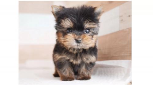 ヨークシャーテリアの子犬(ID:1238511358)の1枚目の写真/更新日:2017-05-06