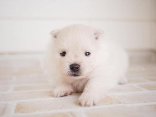 ポメラニアンの子犬(ID:1238511359)の1枚目の写真/更新日:2017-05-11