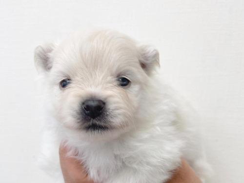ポメラニアンの子犬(ID:1238511359)の2枚目の写真/更新日:2021-05-19