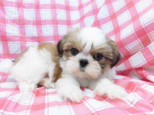 シーズーの子犬(ID:1238511361)の1枚目の写真/更新日:2017-05-30