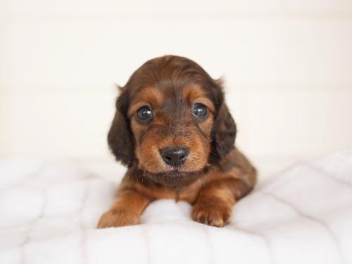 ミニチュアダックスフンド(ロング)の子犬(ID:1238511365)の1枚目の写真/更新日:2021-04-28