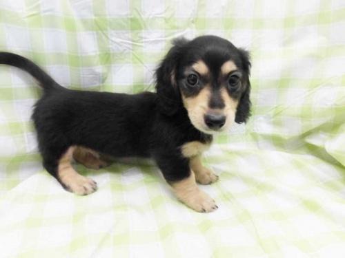 ミニチュアダックスフンド(ロング)の子犬(ID:1238511367)の1枚目の写真/更新日:2017-06-26